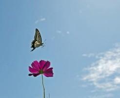 蝶とコスモス